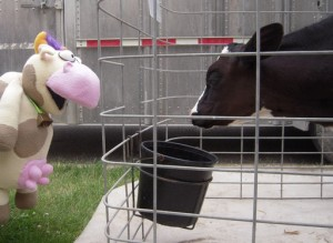 Cow meets cow in Spring Valley